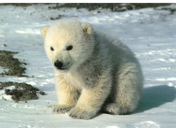 Knut-the-cute-cuddly-polar-bear-cub