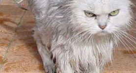 Not a happy kitty: The Tories don't just hate foreigners, they hate fluffies as well