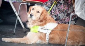A guide dog for the blind