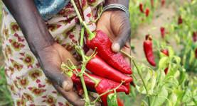 tanzanianpepperfarmer